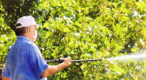 Болезни и защита винограда