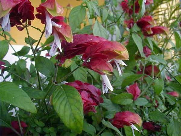 Белопероне фото цветок
