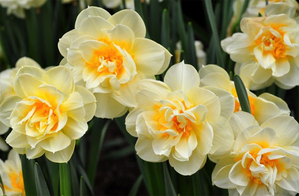 цветок фото нарцисс