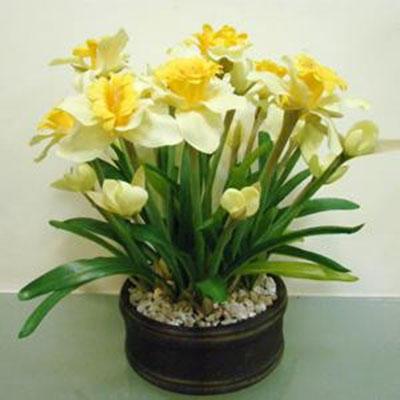 Комнатные цветы нарциссы фото