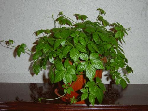 Домашние цветы плющ фото и названия уход