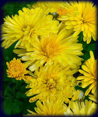 Корейские хризантемы сорта и их описание