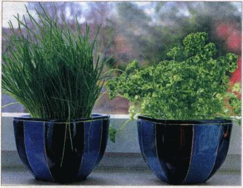 Выращивание петрушки в домашних условиях 71