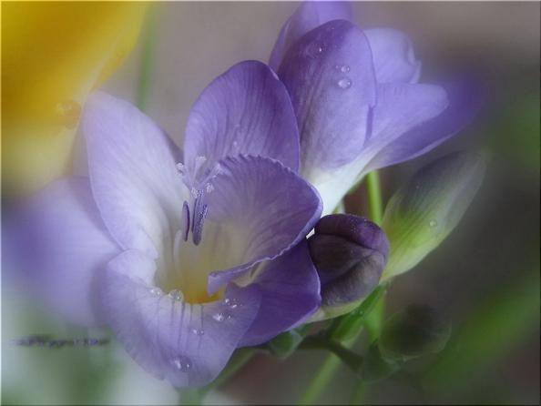 Фрезия: описание, фото, выращивание и уход Вырастить фрезию в домашних условиях