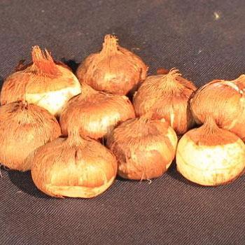 луковицы крокусов фото