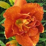 Можно ли лилейник выращивать как комнатное растение?