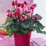 Цветы на букву ц названия