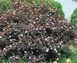 Пузыреплодник physocarpus opulifolius можно