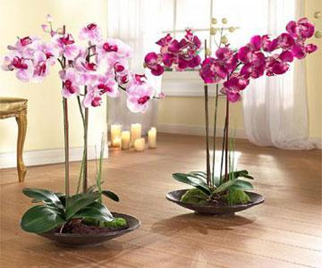 Комнатные цветы орхидея фото и уход
