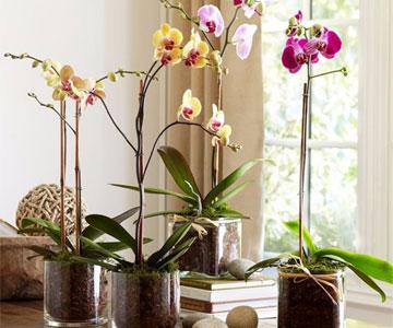 Архидея комнатная