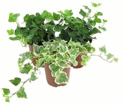 Плющ родина растения