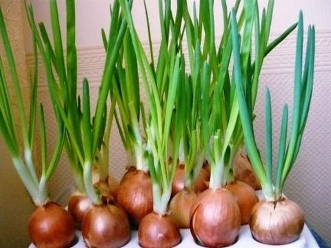 Как посадить лук дома на подоконнике