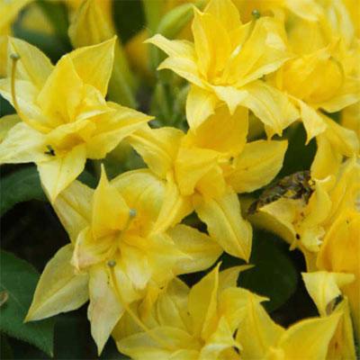 Рододендрон листопадный